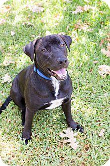 Labrador Retriever Mix Dog for adoption in Austin, Texas - Lucky