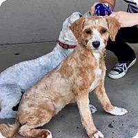Adopt A Pet :: Ginger - Litchfield Park, AZ