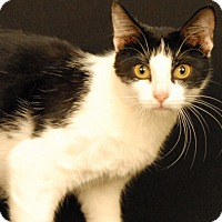 Domestic Shorthair Cat for adoption in Newland, North Carolina - Alaina