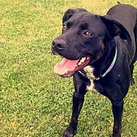 Labrador Retriever Mix Dog for adoption in Lucknow, Ontario - Charlie