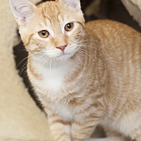 Adopt A Pet :: Hank - Shelton, WA