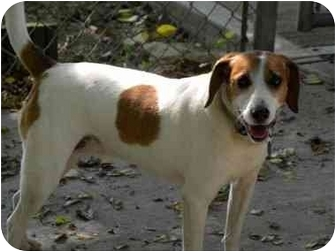 Beagle/Terrier (Unknown Type, Medium) Mix Dog for adoption in Florence, Indiana - Allie