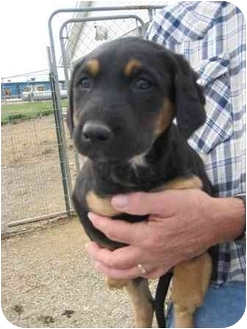 Labrador Retriever/Shepherd (Unknown Type) Mix Puppy for adoption in Florence, Indiana - Joy