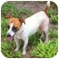 Photo 3 - Jack Russell Terrier Mix Dog for adoption in Terra Ceia, Florida - ITSY BITSY