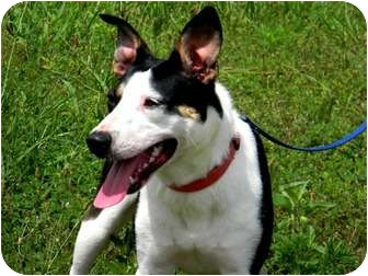 Cattle Dog Mix Dog for adoption in St. James, Missouri - Trixie