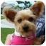 Photo 1 - Yorkie, Yorkshire Terrier Dog for adoption in Hardy, Virginia - Addie