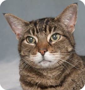 Domestic Shorthair Cat for adoption in Chicago, Illinois - Cornelius