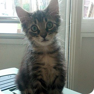 Domestic Mediumhair Kitten for adoption in Toronto, Ontario - Sid