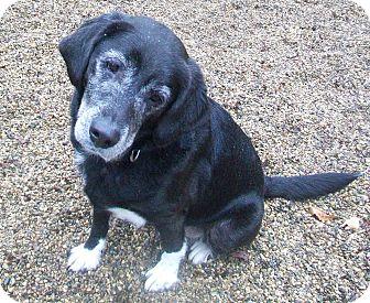 Labrador Retriever/Border Collie Mix Dog for adoption in Fennville, Michigan - Jake