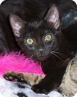 Domestic Shorthair Kitten for adoption in Seattle c/o Kingston 98346/ Washington State, Washington - Vega