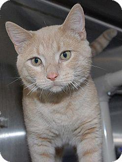 Domestic Shorthair Cat for adoption in Eagan, Minnesota - Ethan