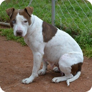Pit Bull Terrier Mix Dog for adoption in Athens, Georgia - Meg