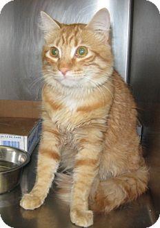 Domestic Mediumhair Cat for adoption in Stillwater, Oklahoma - Hendrix