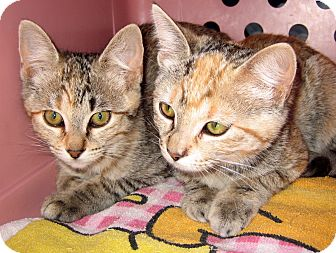 Domestic Shorthair Kitten for adoption in Jemez Springs, New Mexico - 2 Girl Kittens