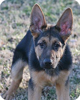 German Shepherd Dog Dog for adoption in Nashville, Tennessee - Cabo