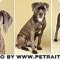 Adopt A Pet :: Apollo - Chicago, IL