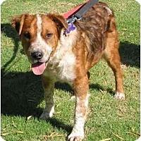 Adopt A Pet :: Wyatt - Phoenix, AZ