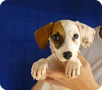 Beagle/Corgi Mix Puppy for adoption in Oviedo, Florida - Dora
