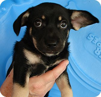 Terrier (Unknown Type, Small) Mix Puppy for adoption in Hurricane, Utah - WOODY