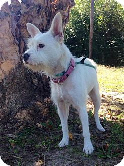 Maltese/Jack Russell Terrier Mix Dog for adoption in Tyner, North Carolina - Bella