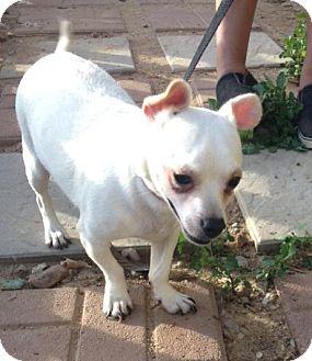 Dachshund/Chihuahua Mix Dog for adoption in San Diego, California - Figo