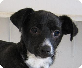 Chihuahua Mix Dog for adoption in Las Cruces, New Mexico - Polo