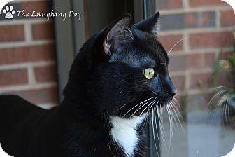 Domestic Shorthair Cat for adoption in Stillwater, Oklahoma - Sammy