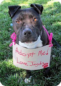 Pit Bull Terrier/Shar Pei Mix Dog for adoption in Dublin, California - Jayda