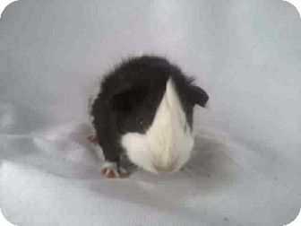 Guinea Pig for adoption in Valparaiso, Indiana - Gracie