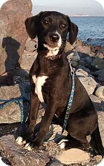 Labrador Retriever Mix Puppy for adoption in Corona, California - MILA