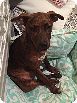 Terrier (Unknown Type, Medium) Mix Puppy for adoption in Milton, New York - Yanni
