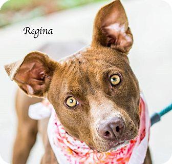 Pit Bull Terrier Mix Puppy for adoption in Lancaster, Texas - Regina - URGENT