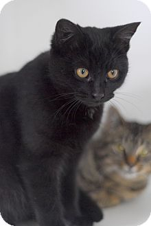 Domestic Shorthair Kitten for adoption in Everett, Ontario - Panda