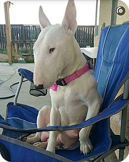 Bull Terrier Dog for adoption in Newport Beach, California - Sabine