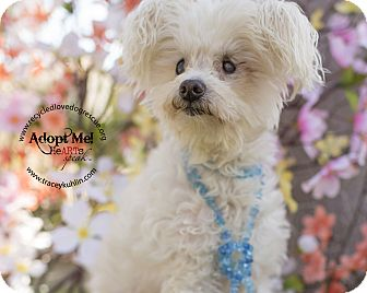 Maltese Mix Dog for adoption in Inland Empire, California - BISCUIT