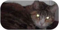 Domestic Shorthair Cat for adoption in Hamburg, New York - Whiskers