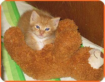 Domestic Shorthair Kitten for adoption in San Antonio, Texas - Chulo