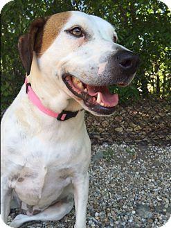 Terrier (Unknown Type, Medium)/Basset Hound Mix Dog for adoption in Middlebury, Connecticut - Cassidy
