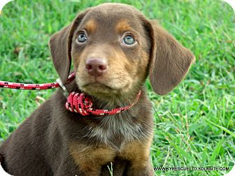 Australian Shepherd/Labrador Retriever Mix Puppy for adoption in Waterbury, Connecticut - Copper~Adopted