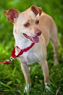 Chihuahua/Terrier (Unknown Type, Medium) Mix Dog for adoption in Miami, Florida - Newton