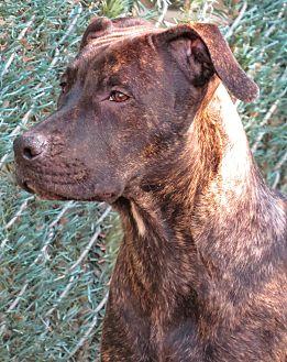 Cane Corso Mix Dog for adoption in West Babylon, New York - Sydney