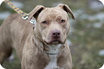 American Pit Bull Terrier Mix Dog for adoption in Midland, Michigan - Diva