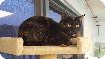 Domestic Shorthair Cat for adoption in Cody, Wyoming - Autumm