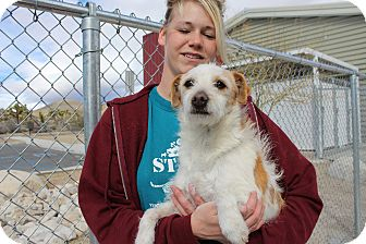 Jack Russell Terrier Dog for adoption in Yucca Valley, California - Russ Titan Nike