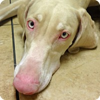 Adopt A Pet :: Alice - Las Vegas, NV