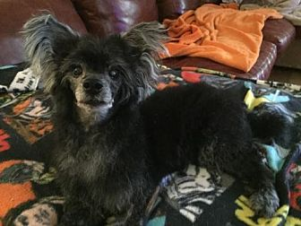 Chinese Crested Dog for adoption in Mooresville, North Carolina - Petey