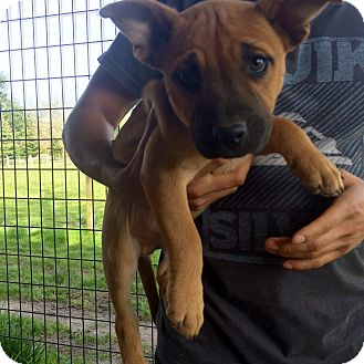 American Pit Bull Terrier Mix Puppy for adoption in Salem, Oregon - Duncan