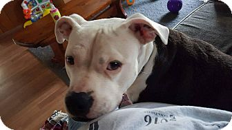 American Pit Bull Terrier Mix Dog for adoption in Acushnet, Massachusetts - Nova