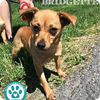 Adopt A Pet :: Bridgette - Kimberton, PA