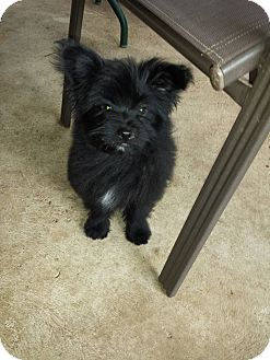Maltese/Pomeranian Mix Puppy for adoption in Arlington/Ft Worth, Texas - Chleo